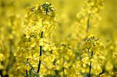 Close-up of rapeseed flowers field