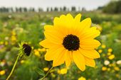 picture of black-eyed susans  - Yellow blooming Brown - JPG