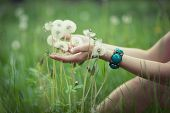Dandelions in woman's hand on green grass