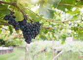 Black Grapes In A Vineyard