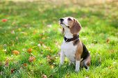stock photo of puppy beagle  - Beagle sitting in green grass - JPG