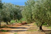 picture of kalamata olives  - Dirt road among olive trees under bright sunlight on the sea shore - JPG