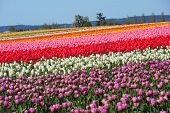 Color Tulip Field