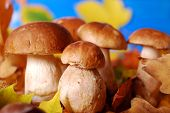 Fresh Cep (porcini ) Mushrooms