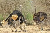 Ostrich - Wild Bird Background from Africa - Wings of Dance
