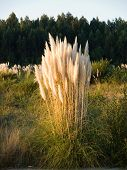 foto of pampas grass  - Pampas grass  - JPG