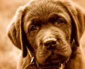 stock photo of puppy eyes  - Cute labrador retriver puppy - JPG