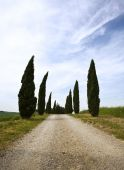 Cypress Alley In The Tuscany