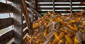 pic of corn cob close-up  - Corn Crib Pile  - JPG