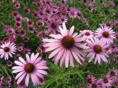 Field of Echinacea flowers.