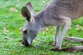 Single Kangaroo Grazing in the wild