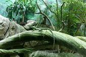 stock photo of lizards  - Green chameleon lizard in tropical rain forest