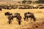 stock photo of wildebeest  - Wildebeests grazing on the plains of the Masa Mara - JPG