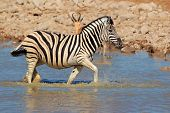 Plains (Burchells) Zebra (Equus burchelli) walking in water, Etosha National Park, Namibia