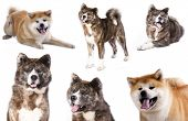 stock photo of akita-inu  - Akita Inu - JPG