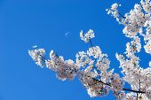 stock photo of wane  - White cherry tree blossoms in spring against blue sky with a moon - JPG