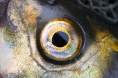 Close up of a fish eye (Common bream - Abramis brama)