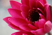 Pink Waterlily Or Lotus Flower