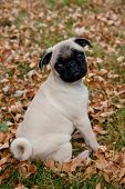 Pug puppy sitting on autumn leaves