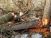 Trunks Of Large Trees Gnawed By Beavers Over The River Pilica In Poland