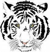 weiße Tiger Vektor