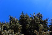 Spruce and sky