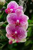 Bunch Of Pink And White Orchid Blossom With Blured