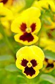 Viola Flowers In Garden