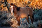 Wild Horse At Sunset In The Arizona Desert