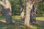 Grove of trees, pines.