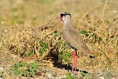 Crowned Plover - African Wild Bird Background - Nature's Prince of Birds