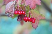 cluster of berries of a guelder-rose at the beginning of September