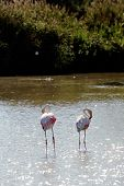 Flamingos In Camargue