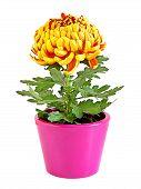 chrysanthemum in a flower pot