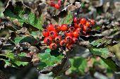 Berries Of Hawthorn