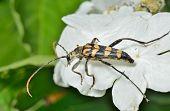 Capricorn Beetle (strangalla Arenata)