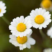 Wild Chammolies - Daisies - Flower On Green Grass Background