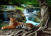 Indochina Tiger Lying With Relaxing Under Banyantree Against Beautiful Pure Nature Limestone Waterfa