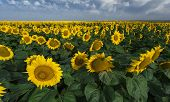 Beautiful Sunflowers Field. The Summer Light.