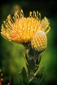 Yellow Pincushion Protea In Flower