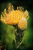Yellow Pincushion Protea In Flower