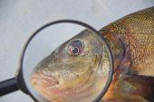 to sulk fish