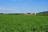 Alfalfa Fields