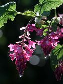 Red-flowering Currant Flowers