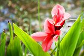 Amaryllis Or Hippeastrum Near Water