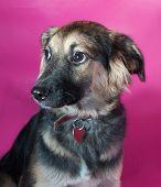 Shaggy Brown Dog On Pink