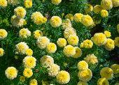 Bright yellow marigolds