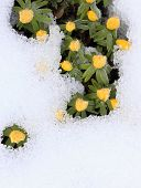 Winter Aconite, Lat. Eranthis Hyemalis In Snow