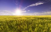 Wheat Field In The Rays Of The Bright Daylight Sun
