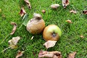 Rotting, Mouldy Windfall Apples